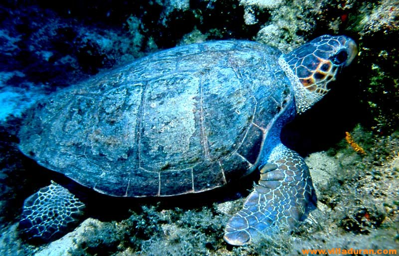 Caretta Caretta and Nile Turtle